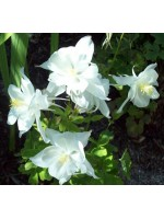 Aquilegia Caerulea - Crystal Star White - 50 Seeds - Colombine