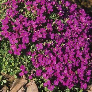 Aubrieta x Cultorum - 250+ Seeds -  Royal Violet