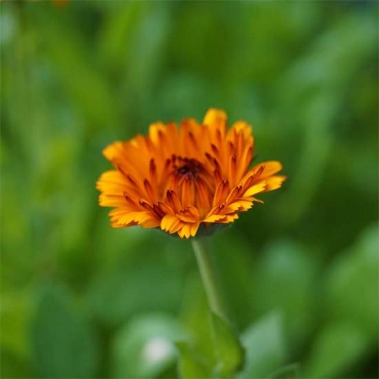 Calendula Officinalis - Indian Prince - 50 Seeds - Medicinal Pot Marigold