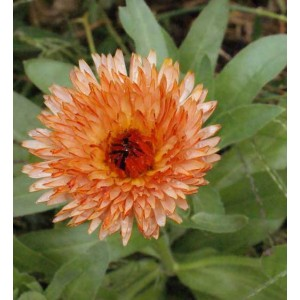 Calendula Officinalis - Triangle Flashback - 50 Seeds - Medicinal Pot Marigold