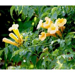 Campsis Radicans Flava - 30 Seeds - Yellow Trumpet vine / Trumpet creeper