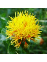 Carthamus Tinctorius - 50 Seeds - Safflower - False Saffron