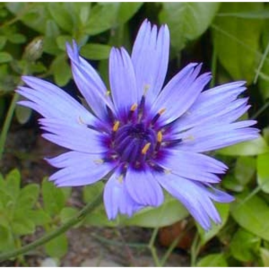 Catananche Caerulea - 50 Seeds - Cupids Dart Flower