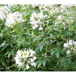 Cleome Hassleriana 'Helen Campbell' - 100 Seeds