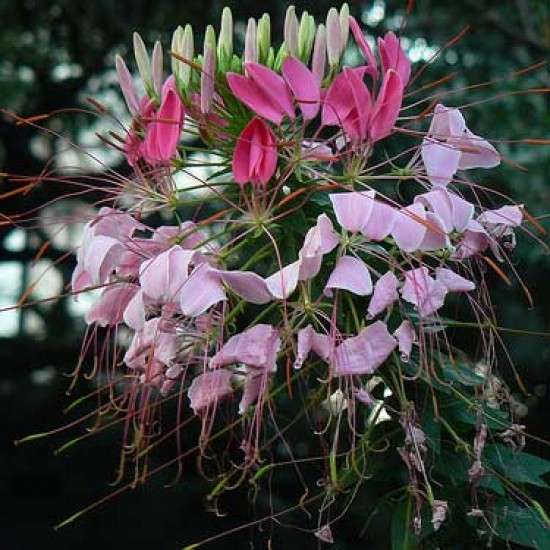 Cleome Hassleriana - 500 Seeds - Rose Queen Variety