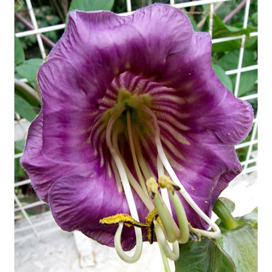 Cobaea Scandens - 15 Seeds - Cup and Saucer Flower