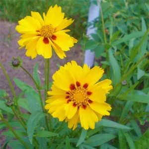 Coreopsis Grandiflora - 50 Seeds - 'Sunray'