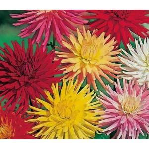Dahlia Cactus Double Mixed - 50 Seeds