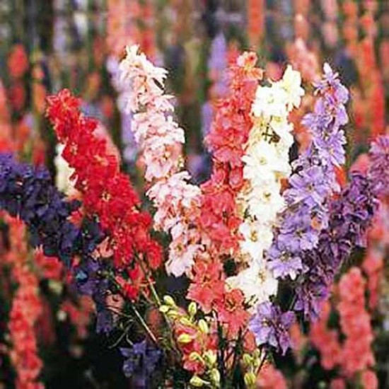 Delphinium Consolida Giant Imperial Mixed Larkspur 500 Seeds