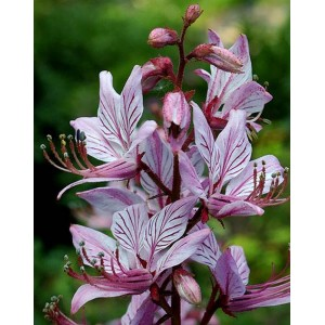 Dictamnus Albus v Purpureus - 25 Seeds - Burning Bush - Rose Gas Plant