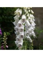 Digitalis Purpurea 'Alba' White Foxglove - 300 Seeds