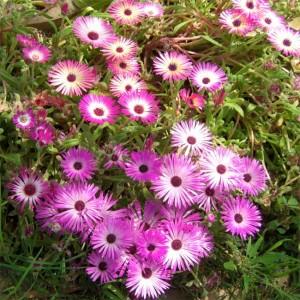 Dorotheanthus Bellidiformis - 4000+ Seeds - Livingstone Daisy