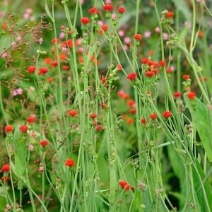 Emilia Javanica ( Cocinea ) - 100 Seeds - Scarlet Magic Tassel Flower