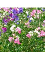 Lathyrus Odoratus - 50 Seeds - Sweet Pea Spencer Mix