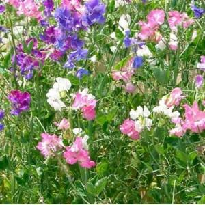 Lathyrus Odoratus - 50 Seeds - Sweet Pea Spencer Mix