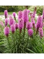 Liatris Spicata ' Rosy Purple ' - 1000 Seeds - Gayfeather