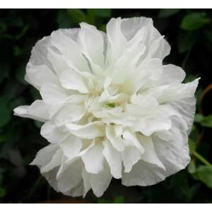 Poppy 'White Cloud Paeony' Papaver Paeoniflorum - 300+ Seeds