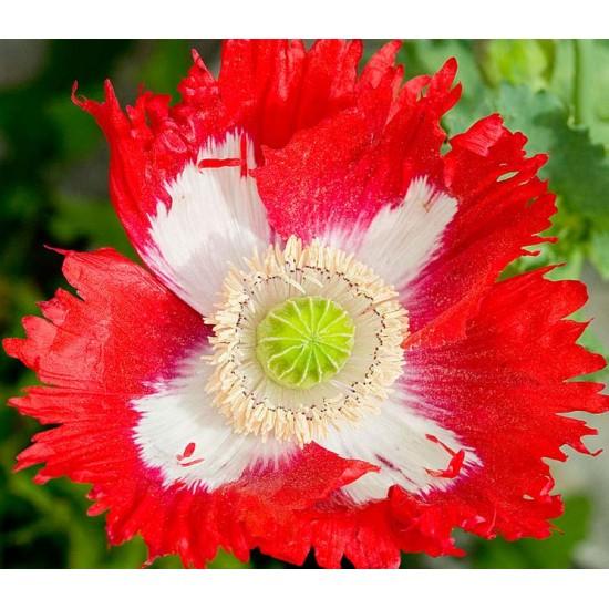 Papaver  - 500 Seeds - Danebrog Poppy - Red and White Danish Flag
