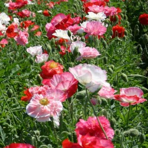 Papaver Rhoeas Poppy - 10000 Seeds - Shirley Double Mix
