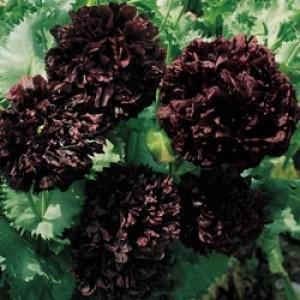 Poppy Black Paeony - Papaver Paeoniflorum - 300+ Seeds