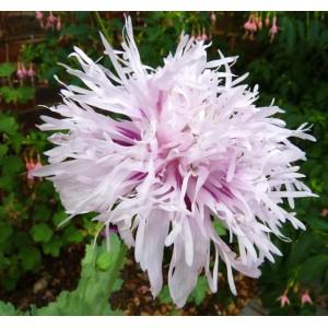 Poppy Lilac Pompon - 200 Seeds -  Papaver