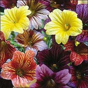 Salpiglossis Grandiflora 200 Seeds - Finest Mix - Painted Tongue Flower