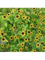 Sanvitalia Procumbens - 3000 Seeds - Creeping Zinnia