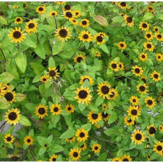 Sanvitalia Procumbens - 1500 Seeds - Creeping Zinnia