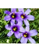 Sisyrinchium Bellum 50 Seeds - Blue Eyed Grass