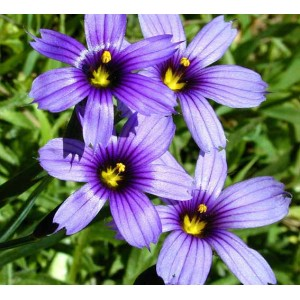 Sisyrinchium Bellum 50 Seeds - Blue Eyed Grass