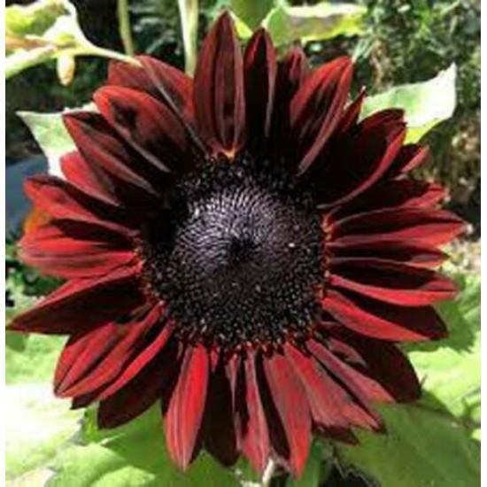 Sunflower Chocolate Cherry - 25 Seeds - Helianthus Annuus