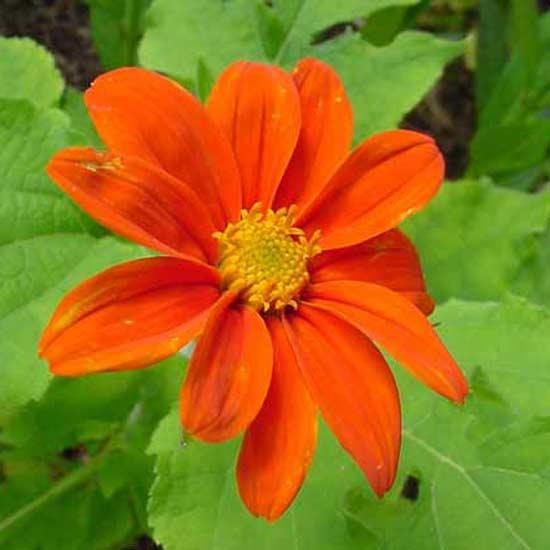 Tithonia Rotundifolia Speciosa - 250 Seeds - Mexican Sunflower