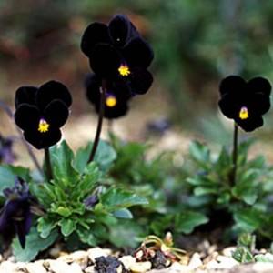 Viola Cornuta - 100 Seeds - Pansy - 'Sawyers Black'
