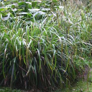 Carex Pendula - 100 Seeds - Pendulous Weeping sedge