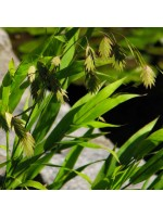 Chasmanthium (Uniola) Latifolium - 50 Seeds - Northern Sea Oats / Woodoats
