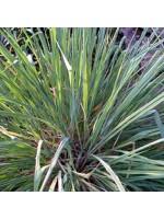 Cymbopogon Flexuosus - 500 Seeds - East Indian Lemon Grass