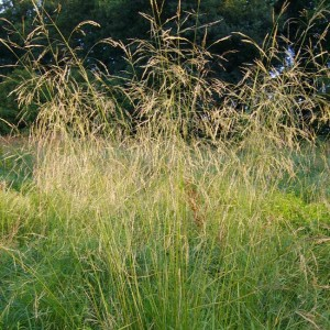 Deschampsia Cespitosa - 2000 Seeds - Tufted Hairgrass / Tussock Grass