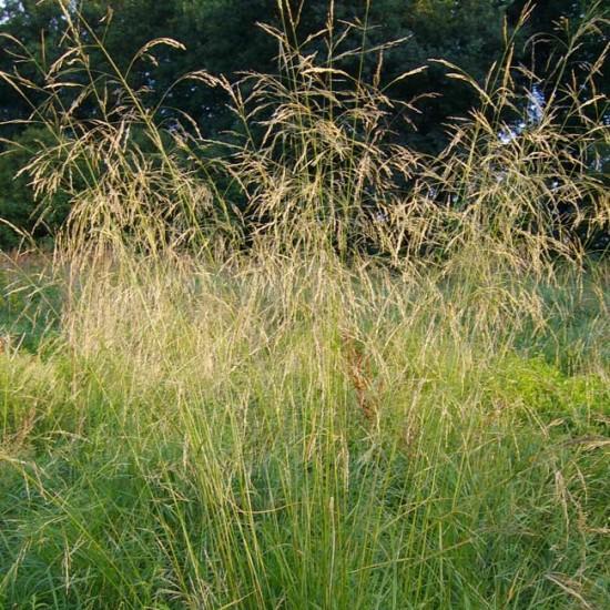 Deschampsia Cespitosa - 2000 Seeds - Tufted Hairgrass / Tussock Grass