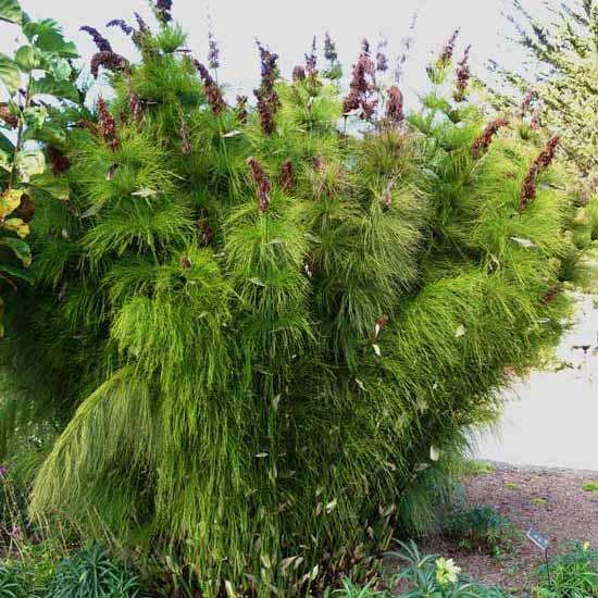 Elegia Capensis - 20 Seeds - Restio ( Bamboo / Grass )