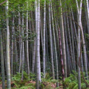Phyllostachys Edulis ( Pubescens ) - 25 Seeds - Edible Tortoise Shell Bamboo