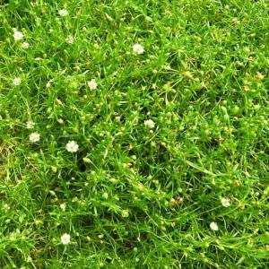 Sagina Subulata - 500 Seeds - Irish Moss Putza Pearlwort