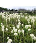 Xerophyllum Tenax - 50 Seeds - Bear Grass / Indian Basket Grass