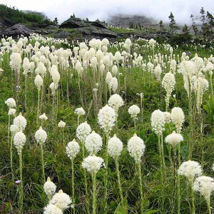 Xerophyllum Tenax - 50 Seeds - Bear Grass / Indian Basket Grass