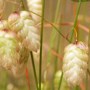 Briza Maxima - 100 Seeds - Rattlesnake Quaking Grass