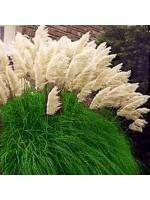 Cortaderia Selloana - 100 Seeds - White Pampas Grass