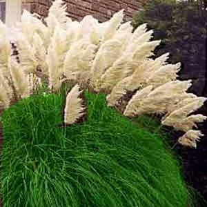 Cortaderia Selloana - 200 Seeds - White Pampas Grass