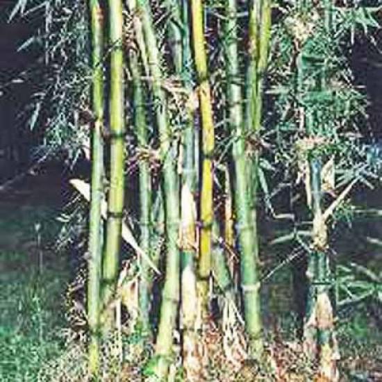 Dendrocalamus Strictus - 50 Seeds - Iron Bamboo