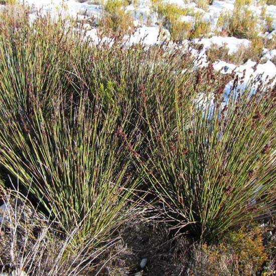 Elegia Aggregata  - 20 Seeds - South African Restio ( Bamboo / Grass )