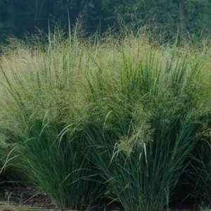 Panicum Virgatum 'Sunburst' - 250 Seeds - Switchgrass