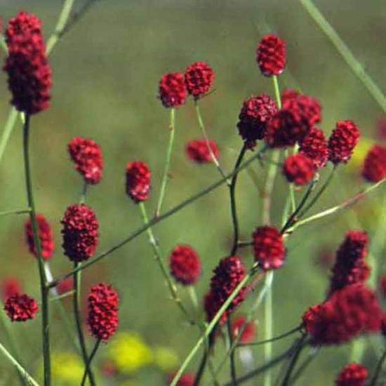 Sanguisorba Officinalis- 25 Seeds - Greater Burnet